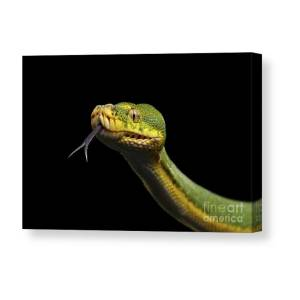 Green Bush Snake Canvas Reptiles Nature Wall Art Picture Home Decor Giclee