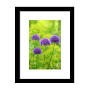 Allium Hollandicum Purple Sensation Flowers Framed Print By Tim Gainey