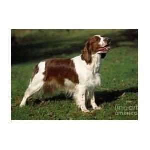 Welsh Springer Spaniel Dog Greeting Card For Sale By John