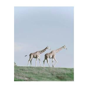 Laughing Giraffe Poster by Jim And Emily Bush