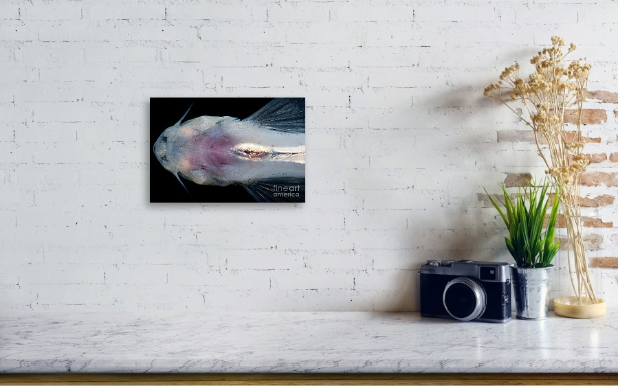 Candiru Catfish Canvas Print Canvas Art By Dant Fenolio