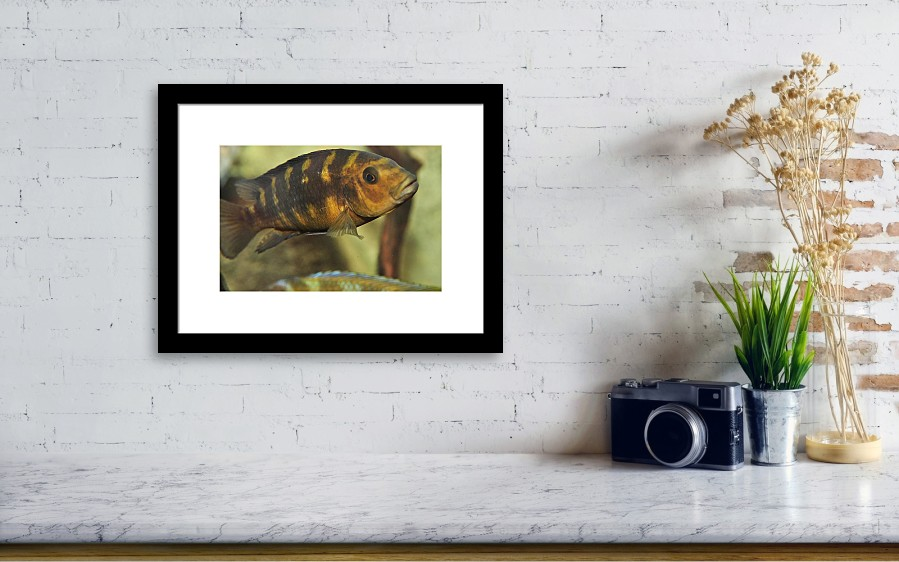 African Cichlid Framed Print by Puzzles Shum