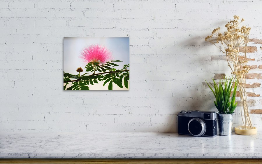 Puff Of Pink Mimosa Flower Poster By Mtbobbins Photography